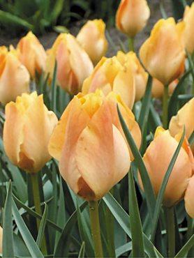Тюльпани ботанічні Баталіна Bright Gem 68 (3 шт)