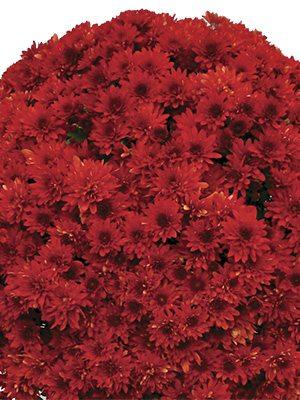 Хризантема мелкоцветковая низкорослая Branstorm (3 шт) - 1