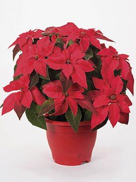 Зірка різдвяна Princettia Indian Red Impr. (1 шт)