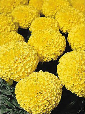 Чорнобривці прямостоячі Discovery Lemon (6 шт) - 1