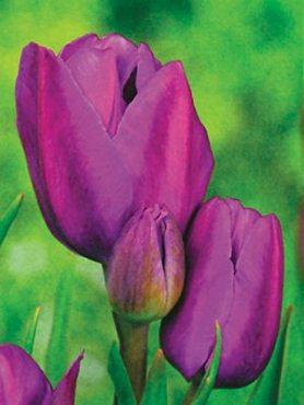 Тюльпаны Многоцветковые Purple Bouquet 1112 (3 шт)