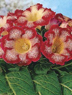 Глоксиния прекрасная Tigrina Red 56 (1 шт)