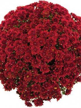 Хризантема мелкоцветковая низкорослая Branopal Red (3 шт)