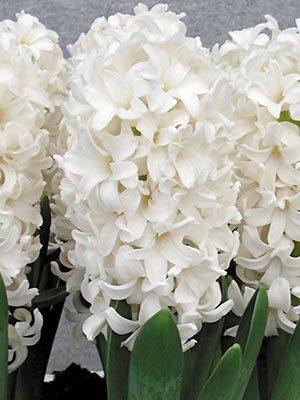 Гиацинт садовый Fairy White 1516 (1 шт) - 1