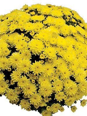 Хризантема дрібноквіткова низькоросла Branfountain Yellow (9 шт) - 1