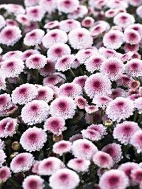 Хризантема срезочная Calimero Pink (3 шт)