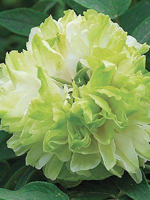 Пион древовидный Green Jade (1шт) - 1