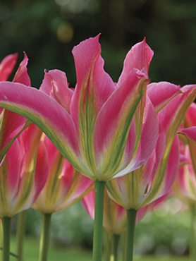 Тюльпани Зеленоцветковые Virichic 1011 (3 шт)
