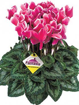 Цикламен крупноцветковый Latinia Fantasia Fuchsia vif F1     (1 шт)