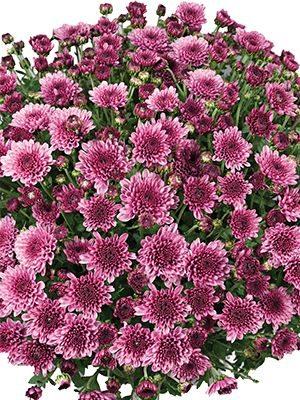 Хризантема мелкоцветковая низкорослая Branfountain Purple (3 шт) - 1