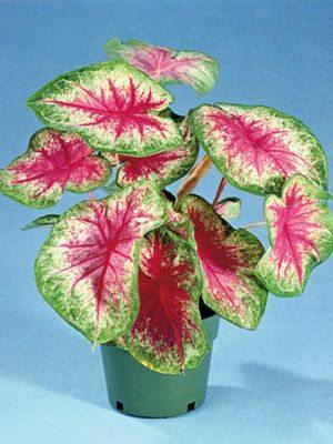 Каладиум двухцветный Rosebud (1 шт) - 1