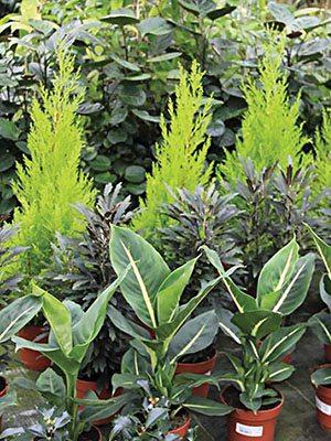 Смесь декоративнолистных комнатных растений , 3 шт - 1