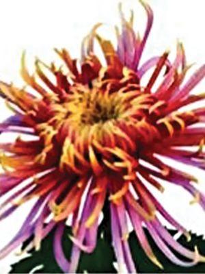 Хризантема срезочная Dilana (3 шт) - 1