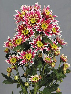 Хризантема срезочная Amici Pink (3 шт) - 1
