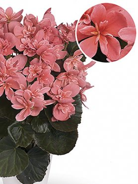 Бегония красивоцветущая Ceveca (1шт)