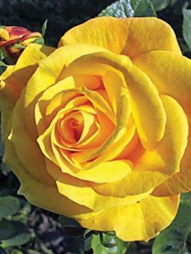 Троянда флорибунда Arthur Bell (1 шт)