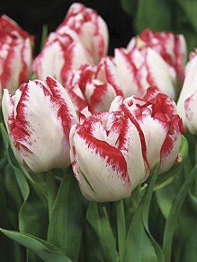 Тюльпани Махрові пізні Cartouche 1112 (100 шт)