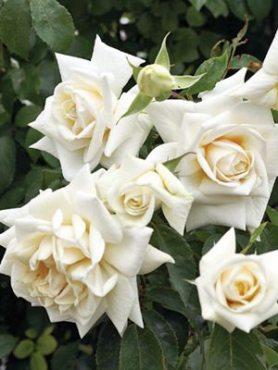 Роза плетистая Ilse Krohn Superior(1 шт)