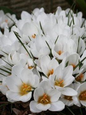 Крокус ботанический золотистый Ard Schenk 5+ (20 шт)