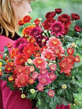 Хризантема гібридна, морозостійка суміш (3 шт)