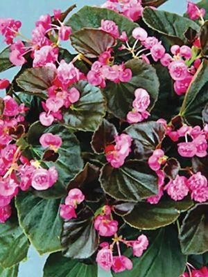 Бегония вечноцветущая Doublet Rose (1 шт) - 1