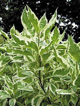 Дерен белый Argenteomarginata (1 шт)