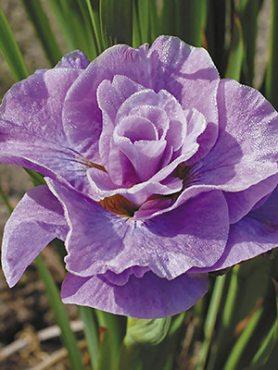 Ирис сибирский Pink Parfait (1 шт)