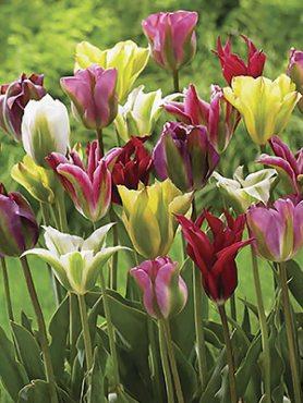Тюльпани Зеленоквіткові,суміш 1012 (10 шт)