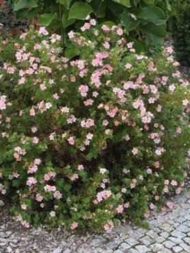 Лапчатка кустарниковая Pink Whisper (1 шт)