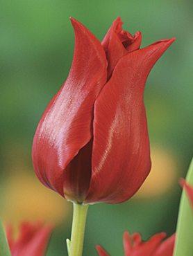 Тюльпаны Лилиецветные Pretty Woman 12+ (3 шт)
