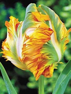 Тюльпаны Попугайные Parrot King 1112 (3 шт)
