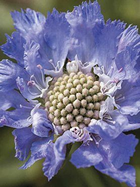 Коростянка кавказька Perfection Blue (1 шт)