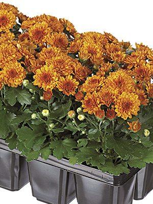 Хризантема мелкоцветковая низкорослая Baby Mum Orange (9 шт) - 1