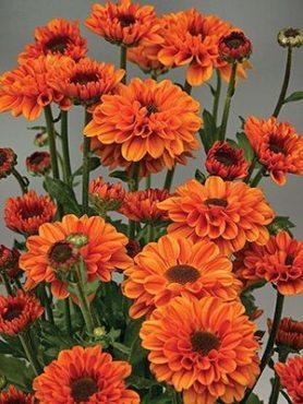 Хризантема срезочная Vyking Dark Orange (9 шт)