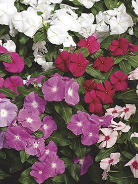 Катарантус розовый Cora, ампельная смесь (6 шт)
