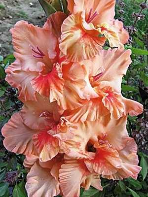Гладиолус садовый Sunny (5 шт) - 1