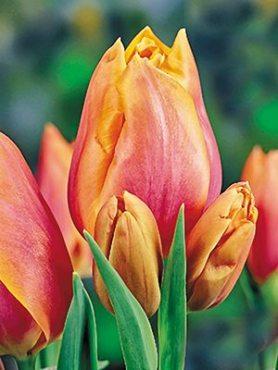 Тюльпаны Многоцветковые Dragon King 1112 (3 шт)