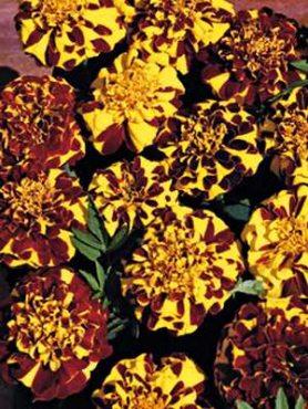 Бархатцы отклоненные Mr Majestic Double, желтые с красно-коричневым (10 шт)