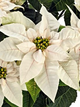 Пуансеттия прекрасная Princettia Pearl (1 шт)