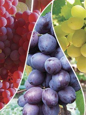 """Набір винограду """"Солодка веселка""""(3 шт)"""
