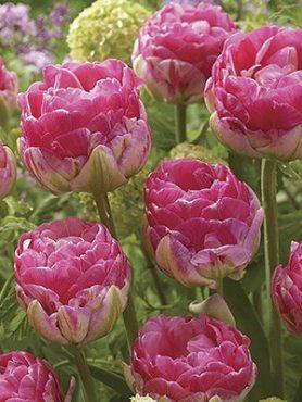 Тюльпаны Махровые поздние Pinksize 12/+ (20 шт)