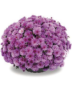 Хризантема дрібноквіткова низькоросла Bransound Purple (9 шт) - 1