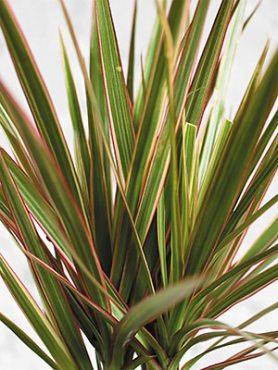 Драцена окаймлённая Bicolor (1 шт)