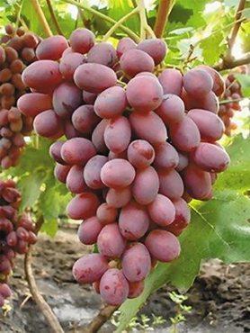 Виноград Ровена (1 шт)
