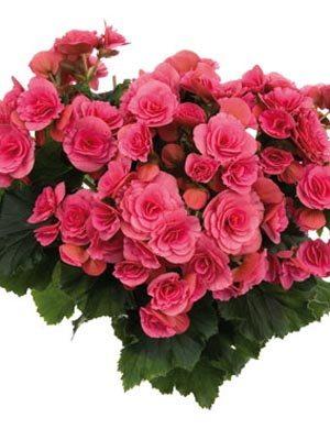 Бегонія красивоцветущая (зимова) Binos Pink (1 шт) - 1
