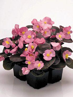 Бегонія вечноцветущая Nightlife Rose (10 шт)