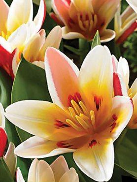 Тюльпаны Кауфмана Floresta 1214 (3 шт)