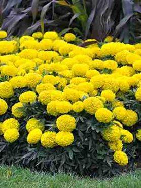 Бархатцы прямостоячие Taishan F1, желтые (5 шт)