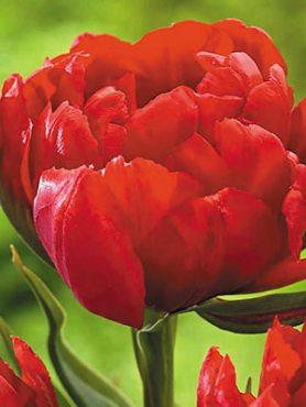 Тюльпаны Махровые ранние Abba 12+ (3 шт)