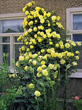 Роза плетистая Goldstern(1 шт)